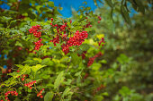Red viburnum on branch