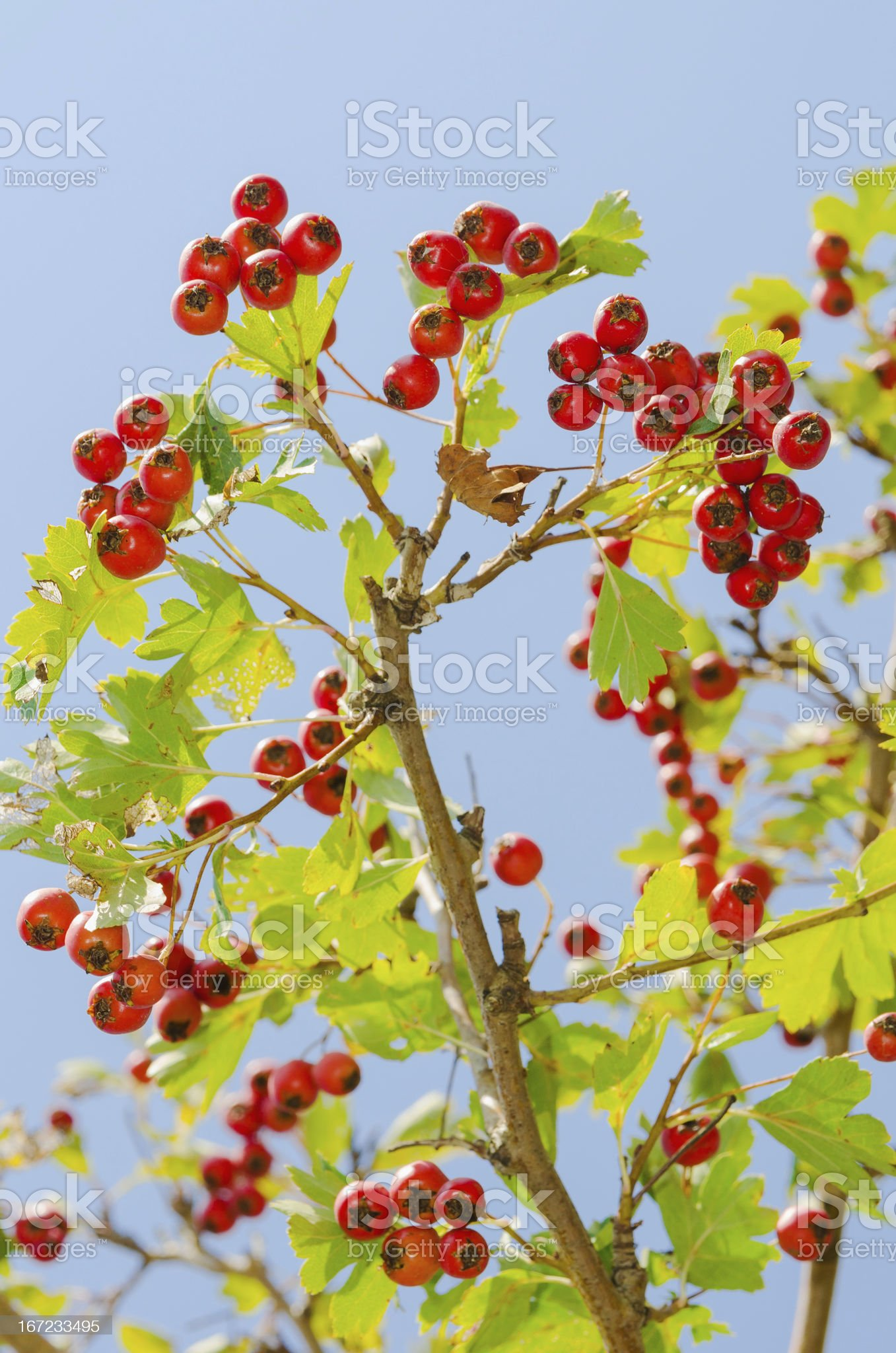 red vitaminic healthy berry on a branch. mature food royalty-free stock photo