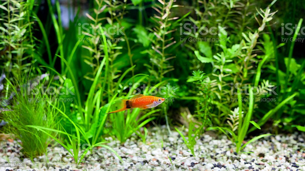 Red Wag Swordtail stock photo