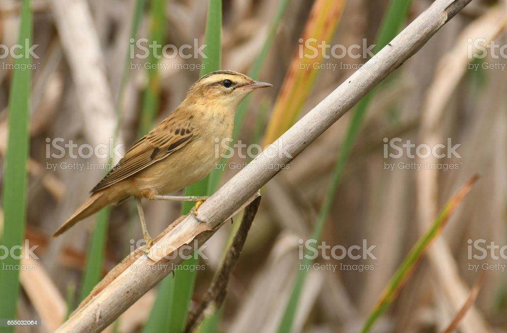 Red warbler stock photo