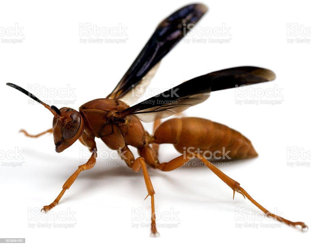 Red Wasp Closeup stock photo