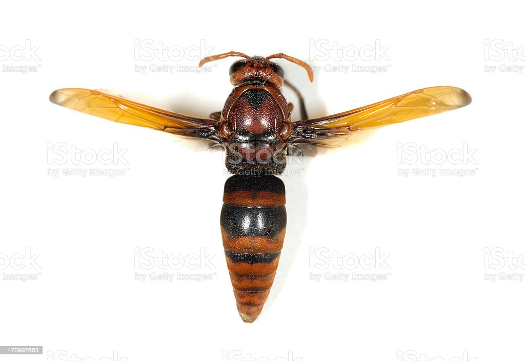 Red Wasp on Whitte royalty-free stock photo