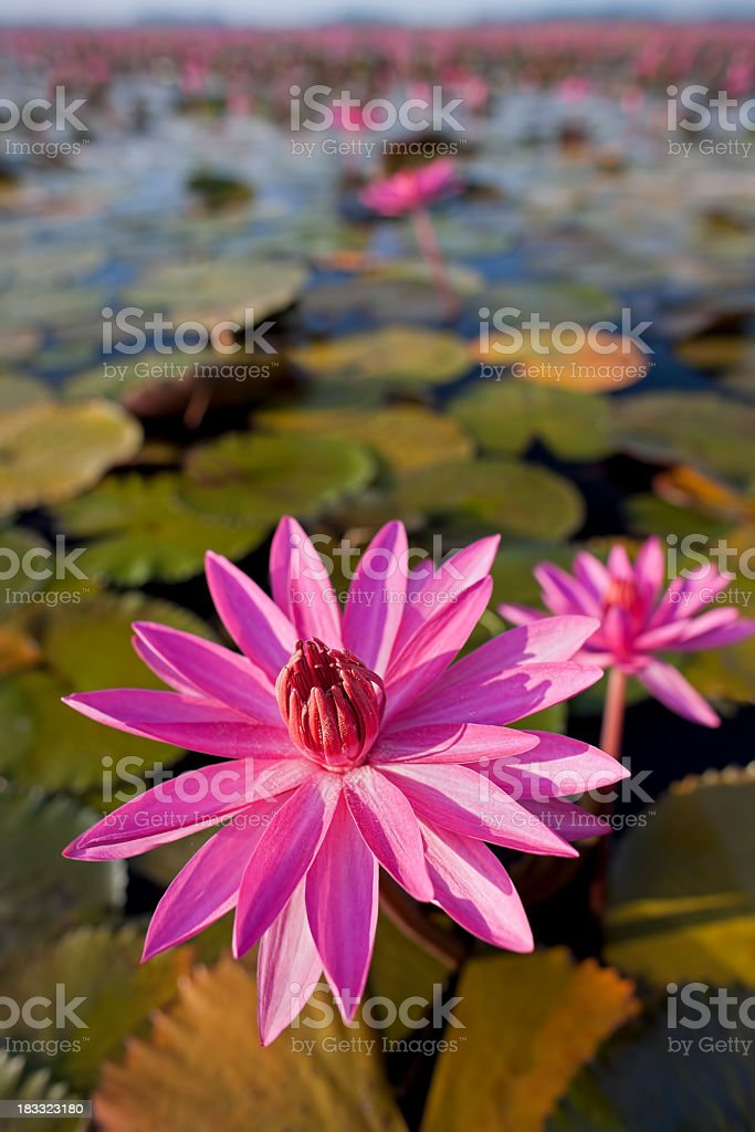 Red water lilies in a lake. royalty-free stock photo