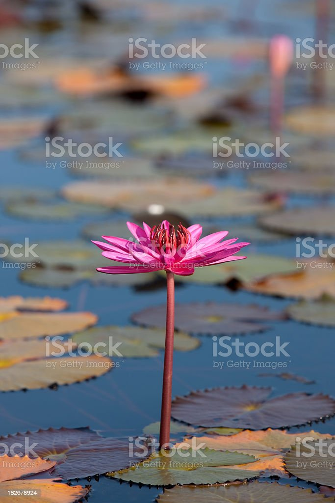 Red water lily in a lake. stock photo