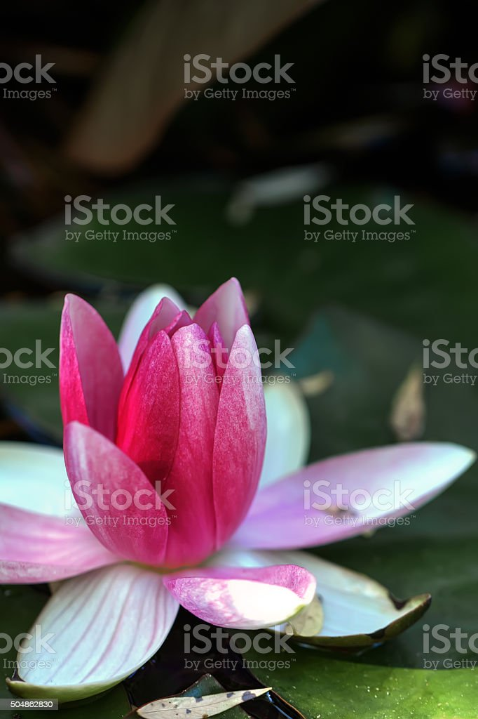 Red water lily. stock photo