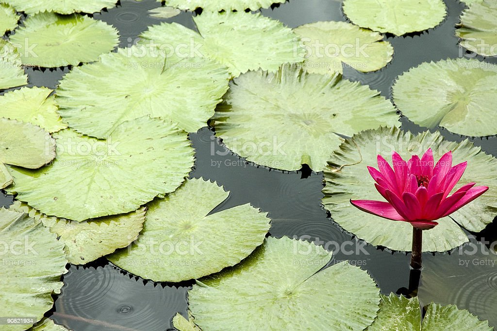 Red Water Lily royalty-free stock photo