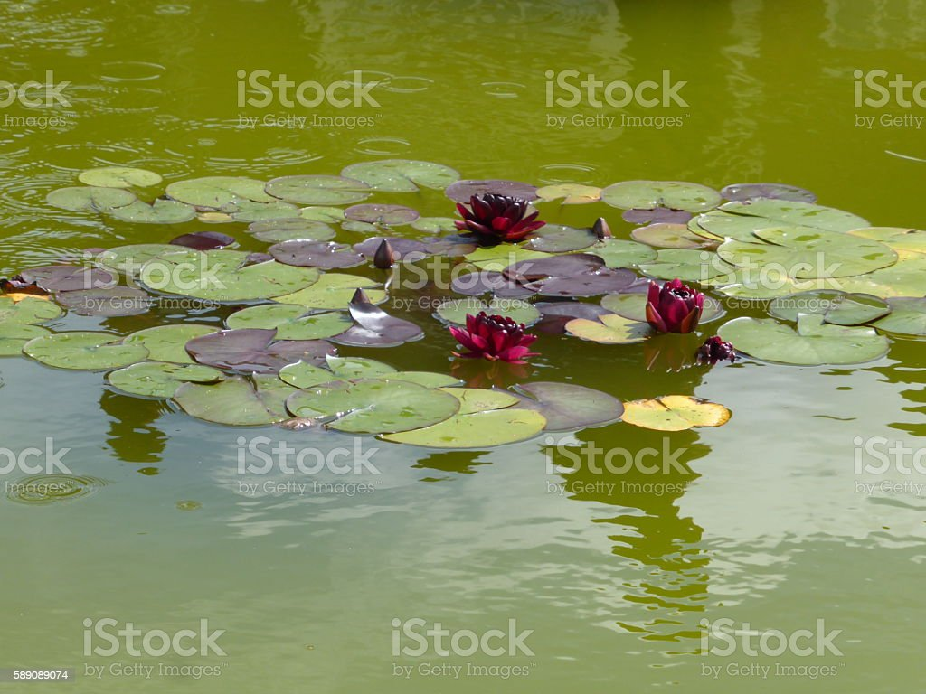 Red Waterlily Nymphaea stock photo