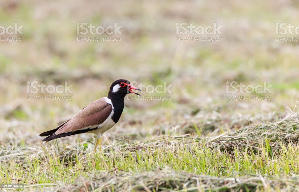 Red wattled Lapwing bird, in the garden, blurred background. stock photo