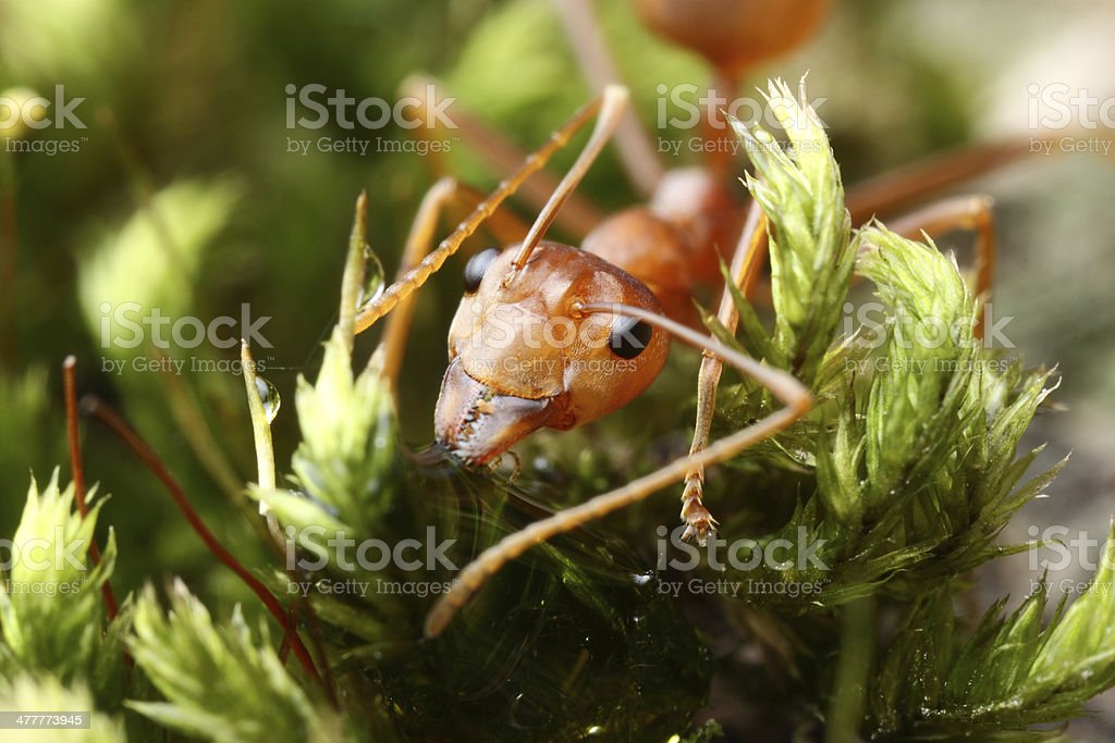 Red weaver ant royalty-free stock photo