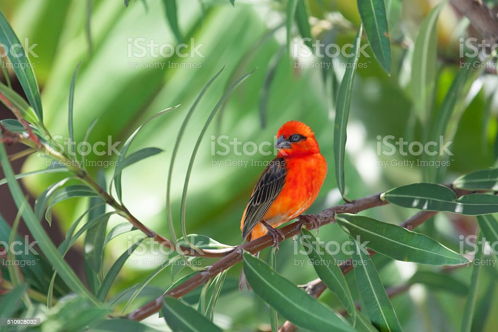 red weaver bird stock photo