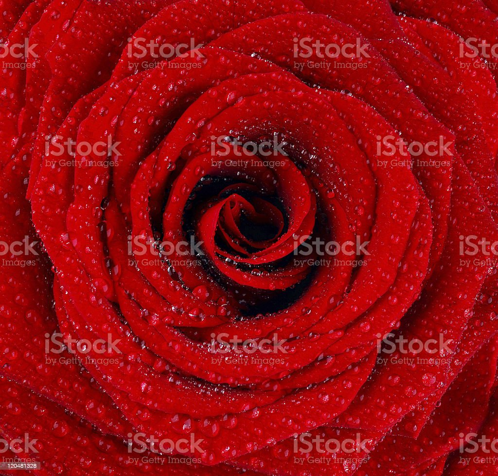 Red wet rose background royalty-free stock photo