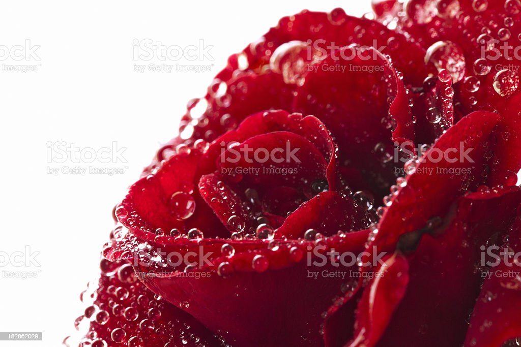 Red Wet Rose On White royalty-free stock photo