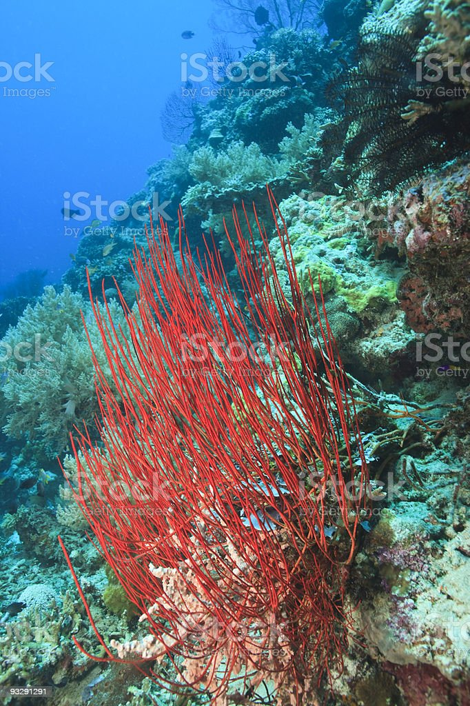 Red whip coral stock photo
