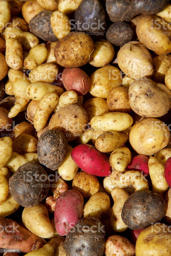 red white and blue potatoes stock photo