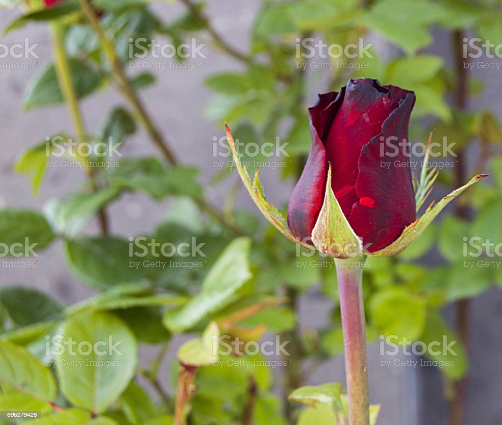 Red, white and pink roses budding and preparing to open in the garden during the roses season stock photo