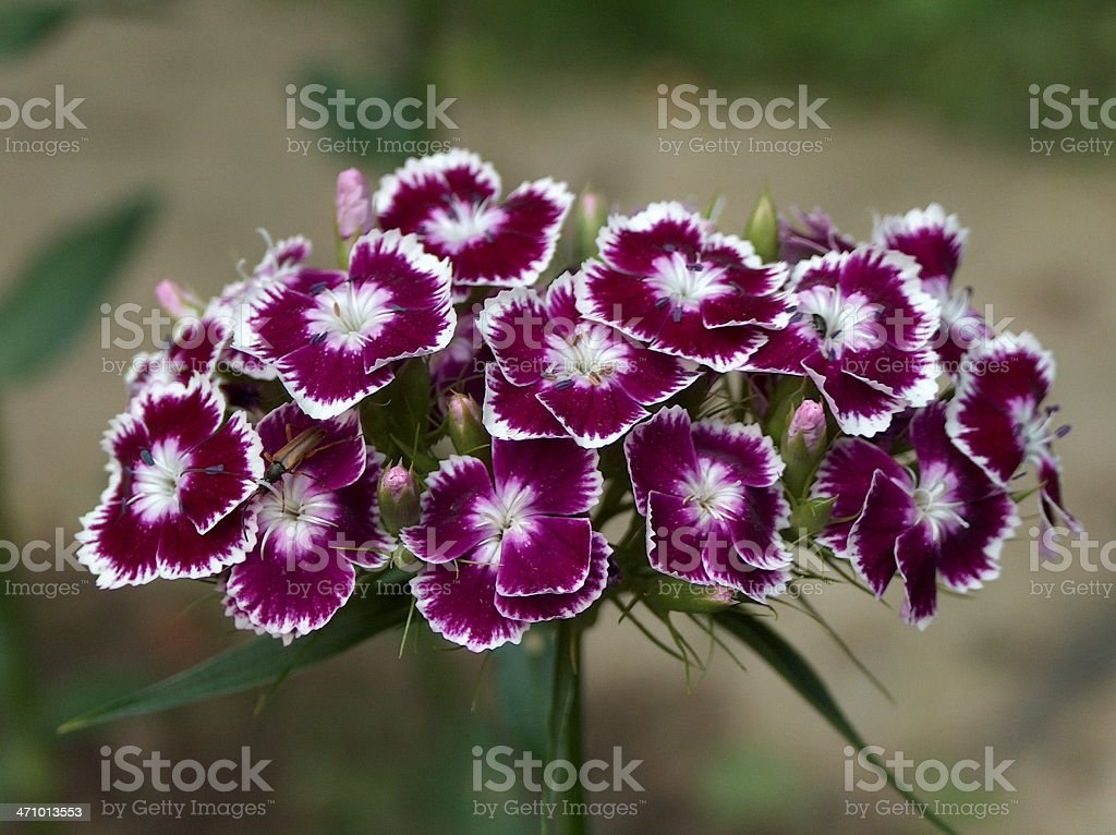red white flowers royalty-free stock photo