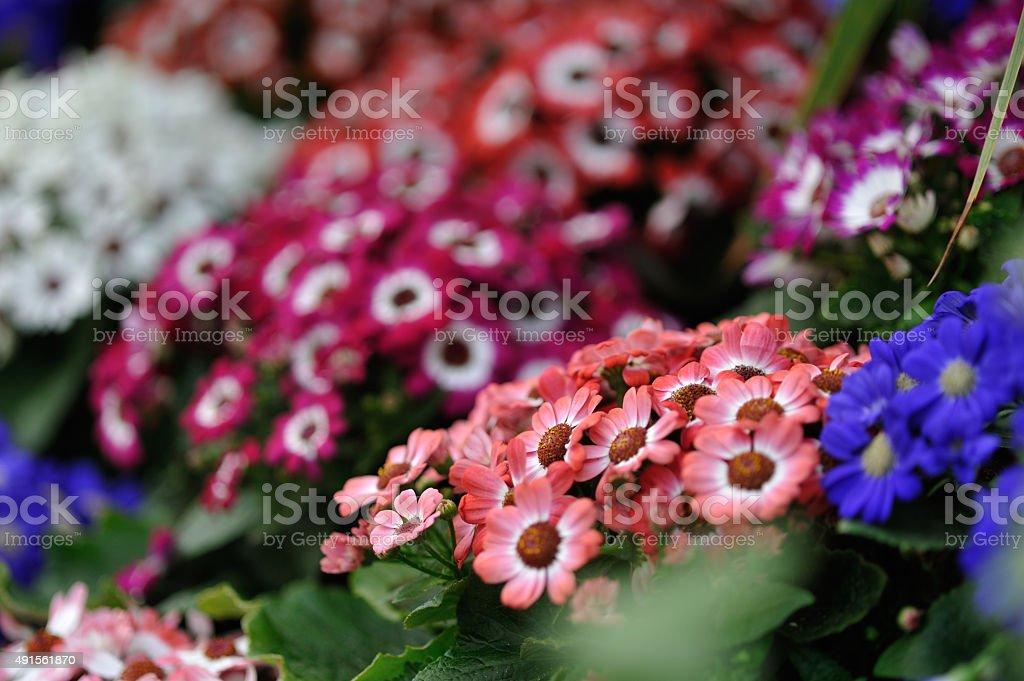 Red & White garden flowers stock photo