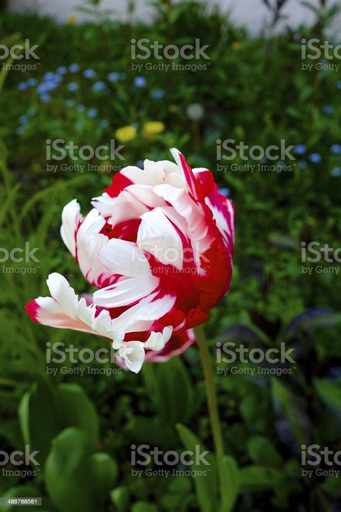 Red white tulip stock photo