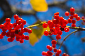 Red wild berries on tree against a blue sky