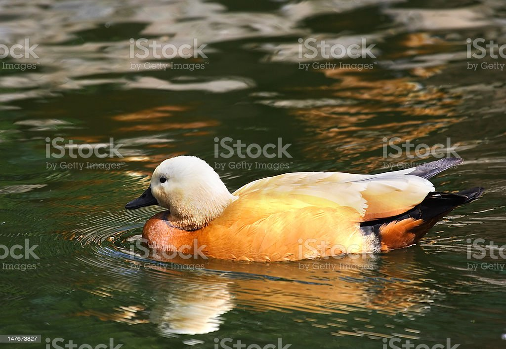 Red wild duck  royalty-free stock photo
