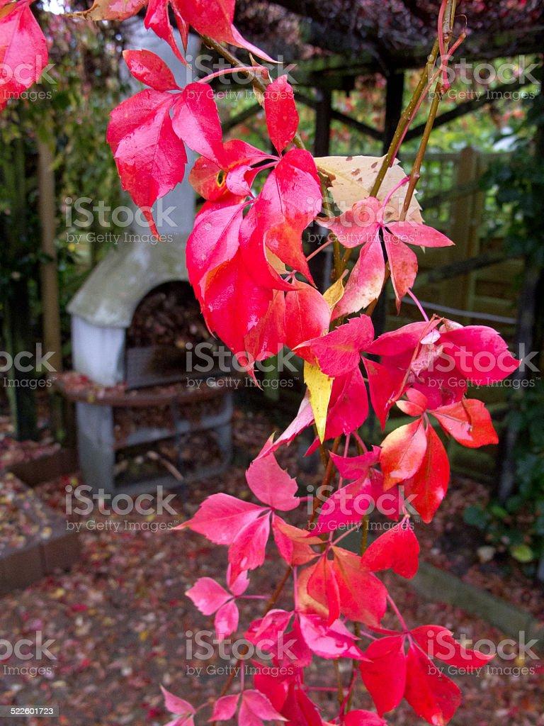 Red Wild Vine stock photo