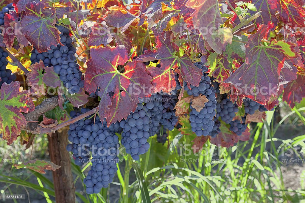 Red Wine Grape Clusters stock photo