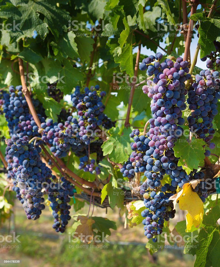 Red Wine Grape in Columbia Valley of Washington State stock photo