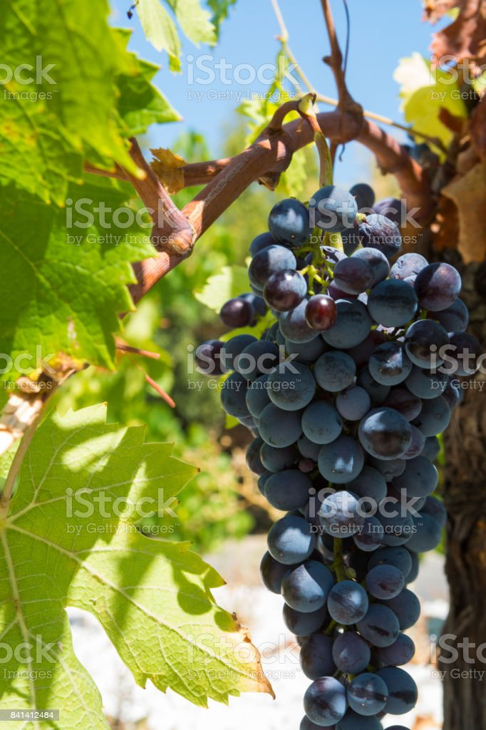 Red wine grape riping in the south french vineyards, Provence stock photo