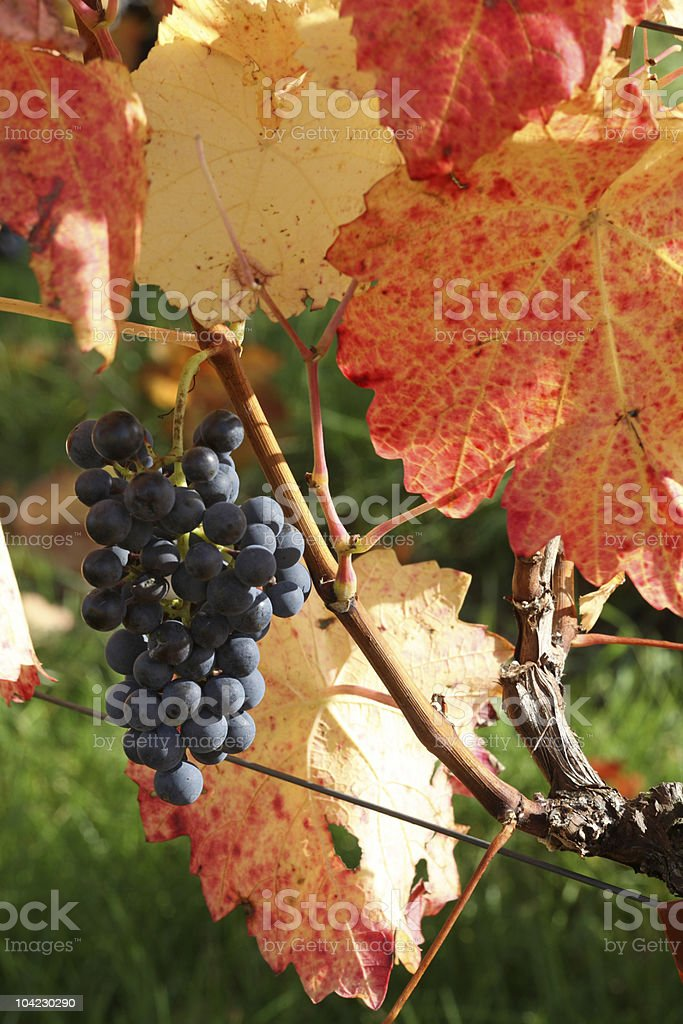 Red Wine Grape with Fall Leafs stock photo