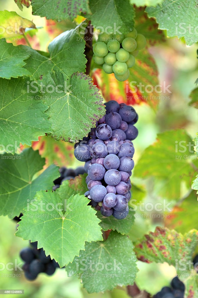 Red wine grapes growing in a vineyard royalty-free stock photo