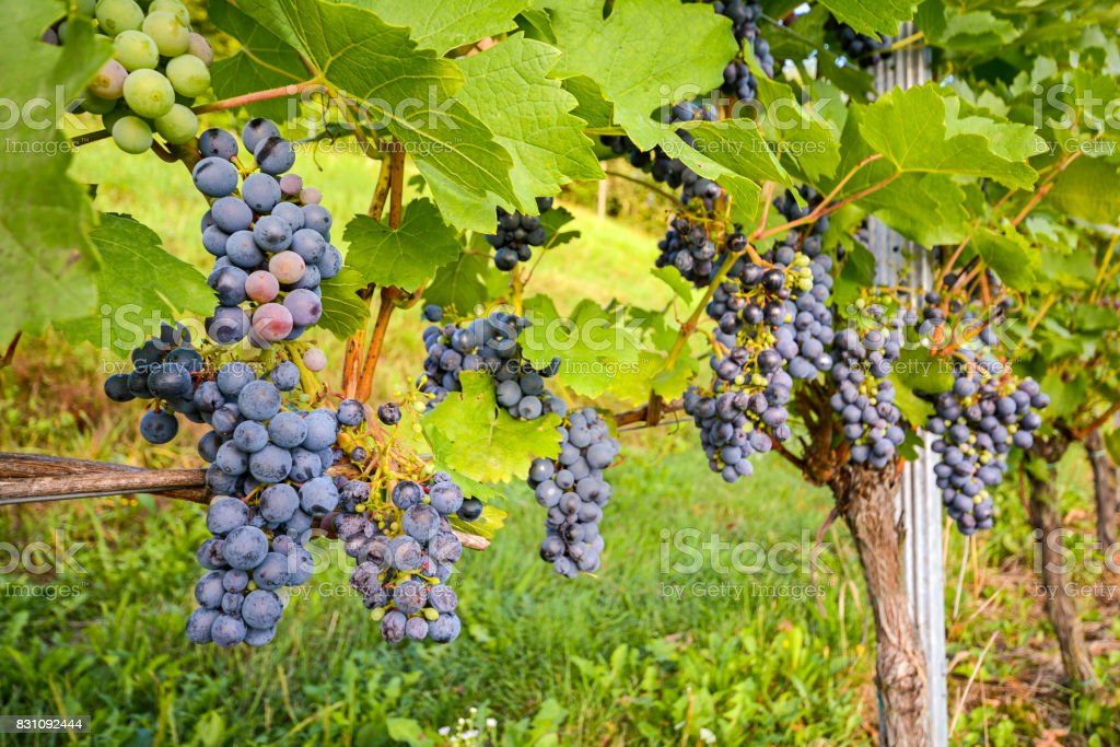 Red wine grapes in a wineyard before harvest in late autumn stock photo