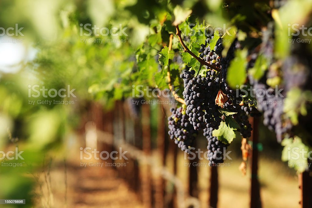 Red wine grapes in vineyard with selective focus stock photo