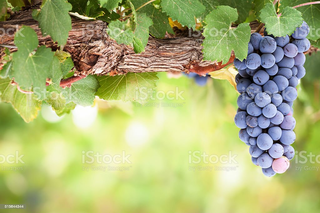 Red wine grapes on old vine stock photo