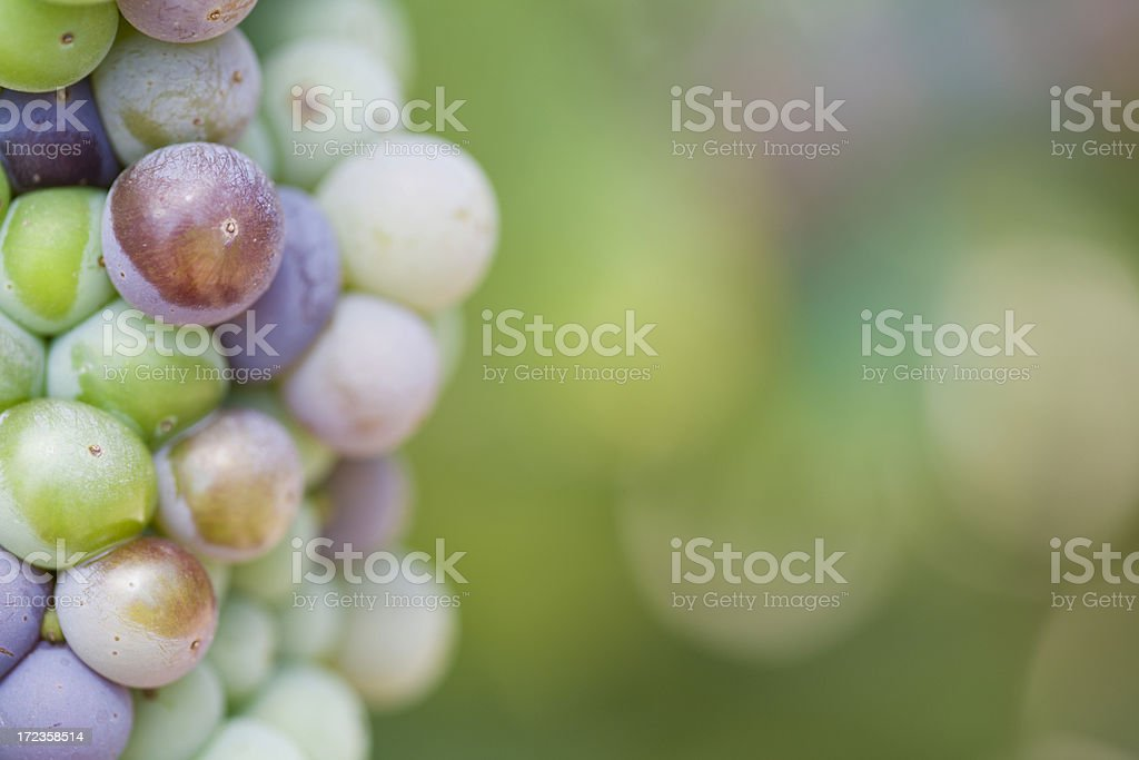 Red Wine Grapes on the Vine royalty-free stock photo