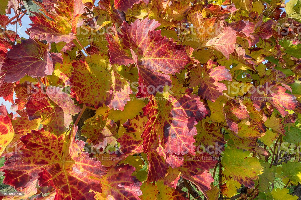 Red wine leaves stock photo