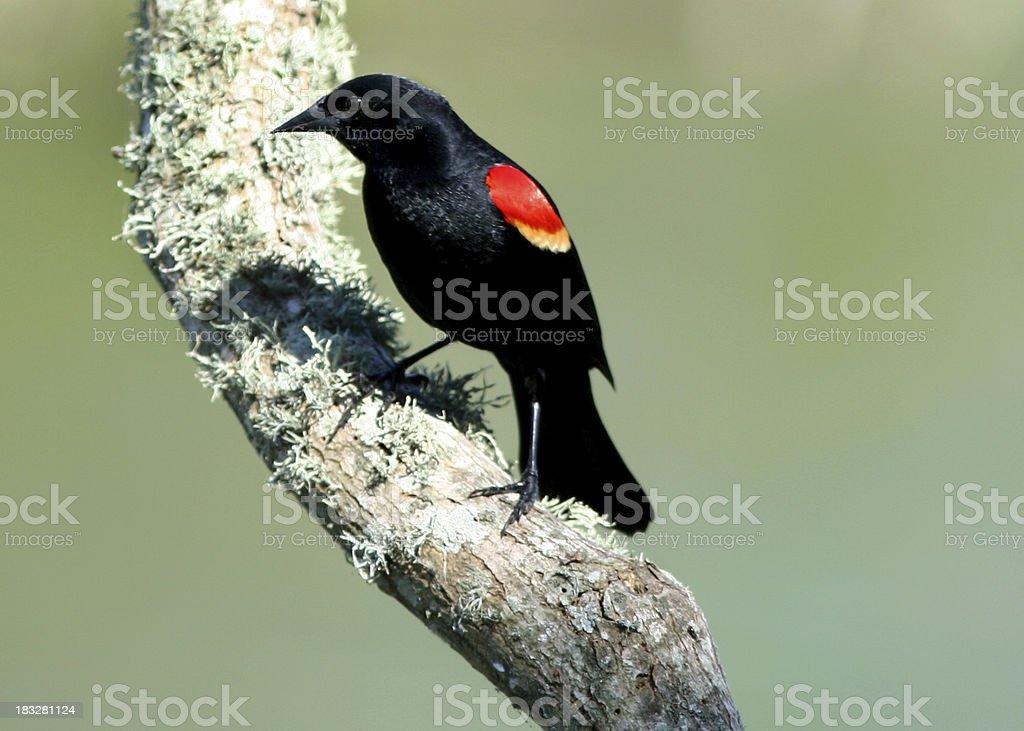 Red Wing Blackbird royalty-free stock photo