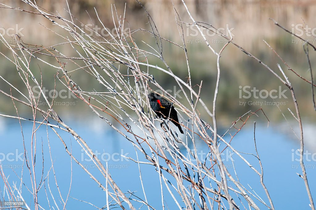 Red Winged Black Bird at Chatfield stock photo