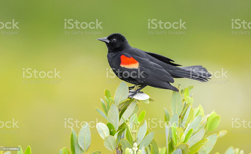 Red Winged Black Bird - Isolated Perched - Green Background stock photo