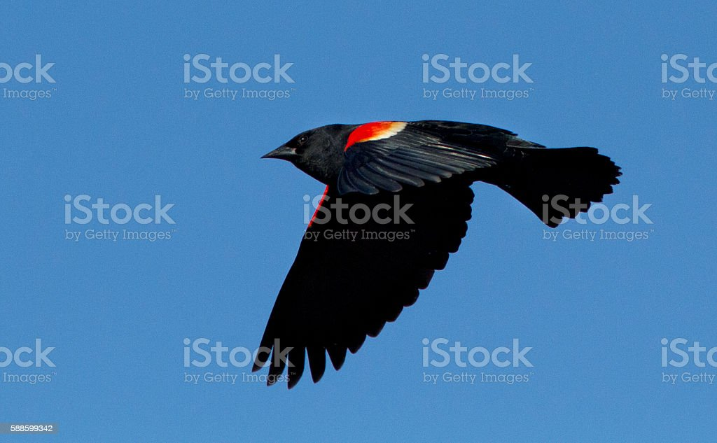 Red winged blackbird in flight stock photo