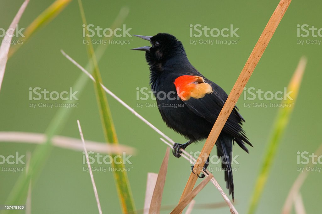 Red Winged Blackbird male calling singing royalty-free stock photo