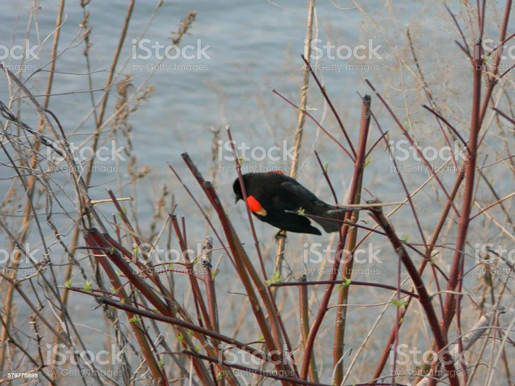 Red Winged Blackbird on Branches Next to Water stock photo