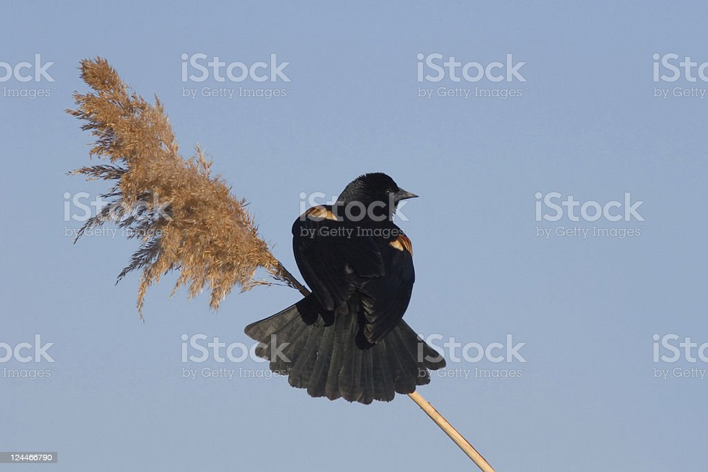 Red Winged Blackbird Perched on Reed with Clear Blue Sky stock photo