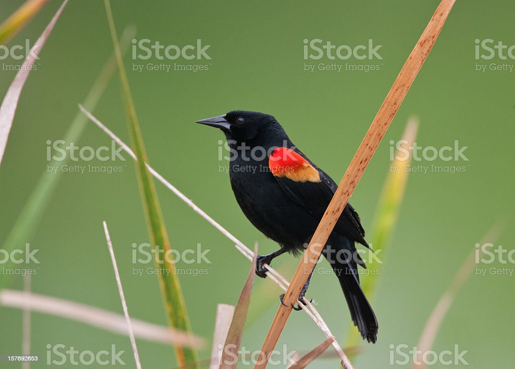 Red Winged Blackbird royalty-free stock photo