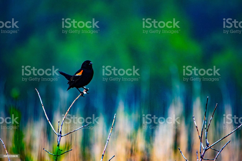 Red winged blackbird royalty-free stock photo