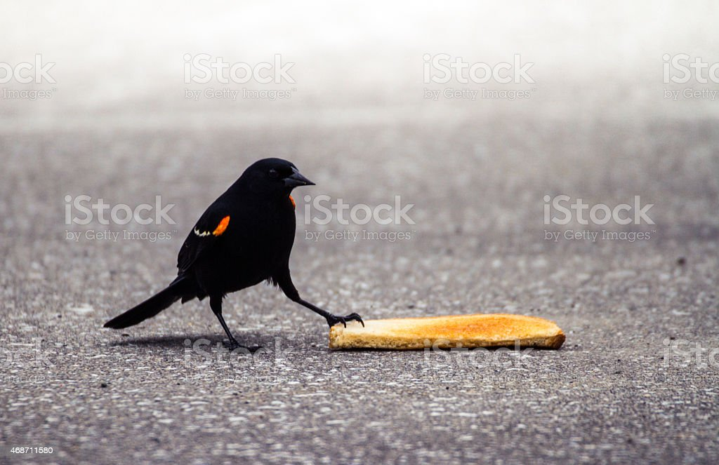 Red winged blackbird stepping on a piece of toast stock photo