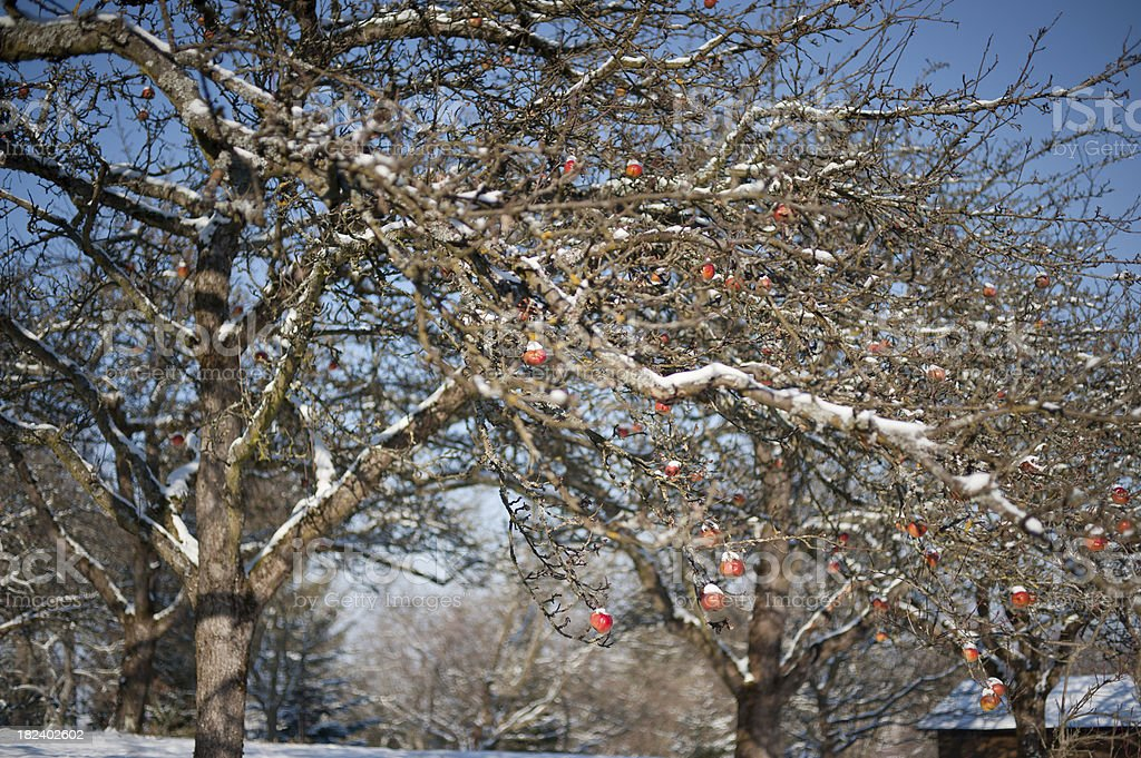 Red Winter Appels stock photo