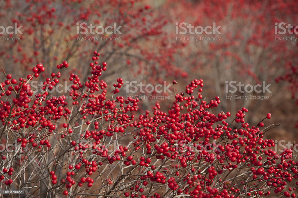 Red Winterberry Background stock photo