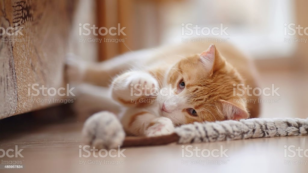 Red with white a striped playful cat with a toy. stock photo