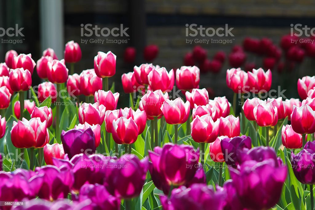 red with white circumcision tulip color royalty-free stock photo