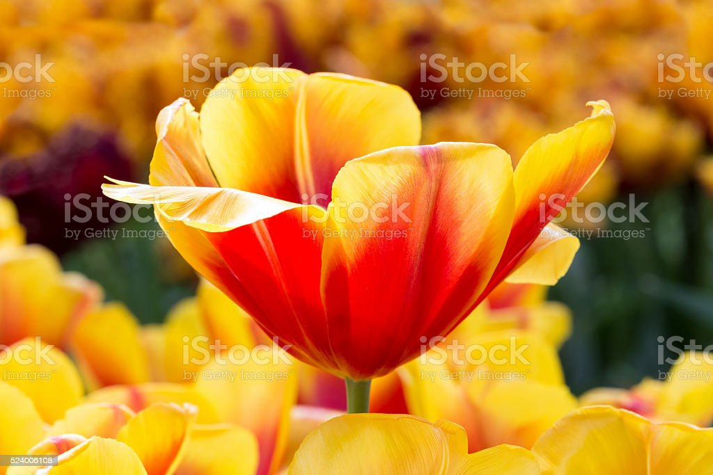 Red with yellow tulip in flowers field stock photo